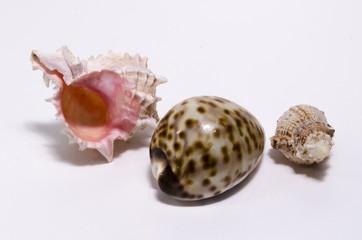 сувениры ракушки с южных морей