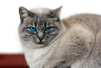 Beautiful cat close up with blue eyes and brown fur