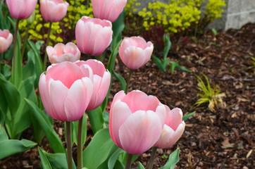 Rosa Tulpen blühen im Garten