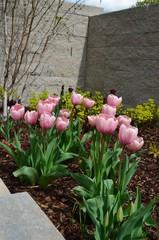 Rosa Tulpen blühen vor Natursteinmauer