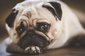 Cute pug puppy dog