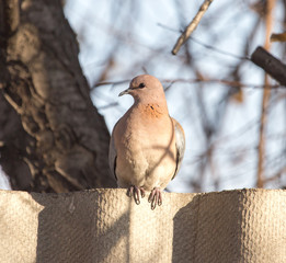 Dove on a fence in nature