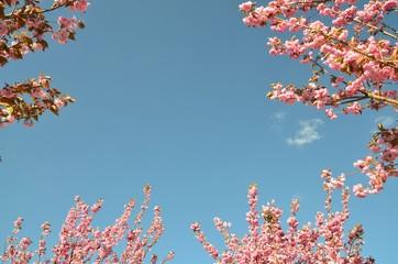 Hintergrund Himmel - Rahmen Umrahmung - Mandelbäumchen blühen