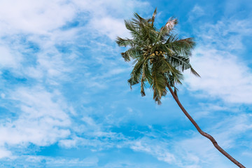 Coconut tree against blue sky