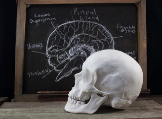 Old black anatomy board with brain structure illustration and white skull laying on a wooden table profile view.