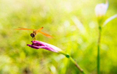 Dragonfly on pink flowers