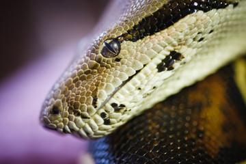 Boa constrictor close up