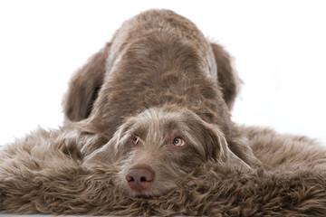 Hund blickt schuldbewußt nach oben