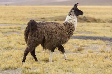Portrait of beautiful Llama, Bolivia
