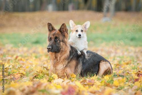 Pembroke Welsh Corgi Puppy With German Shepherd Dog In Autumn Stock