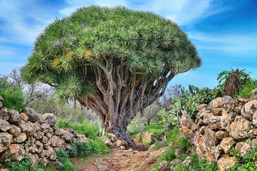 Hiking trail with dragon Tree near Las Tricias (La Palma, Canary Islands)
