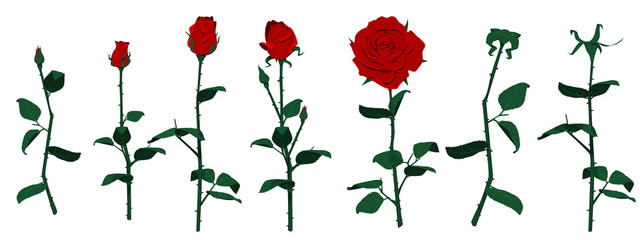 Many roses on Transparent background