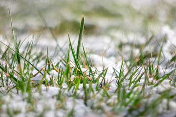 Macro of fresh green grass covered with snow. Frost in march or april. Shallow DOF, selective focus, pretty bokeh