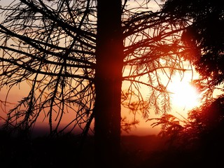 evergreen trees in an intense red sunlight