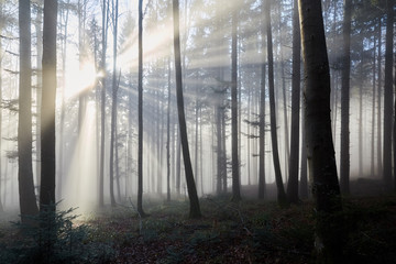 Sun rays through the foggy forrest