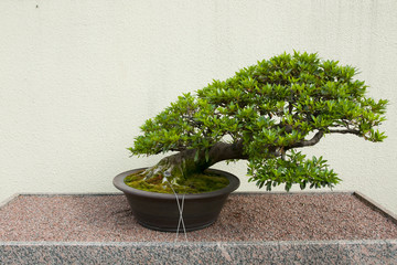 Satsuki Azalea Bonsai Tree (55 years old)