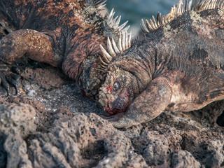 Fighting Iguanas