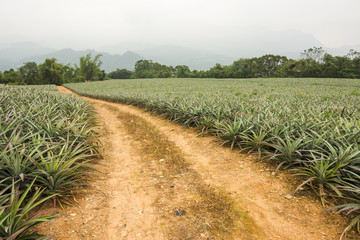 Pineapple farm and road