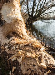 Beavers gnawed a half tree trunk at the river bank