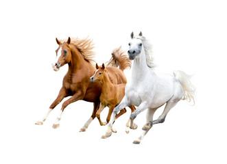 three arabian horses isolated on white