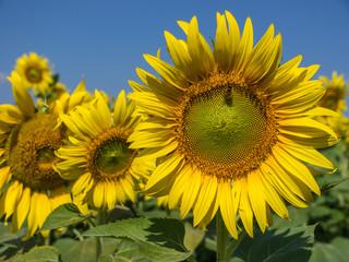 Photo sur Aluminium Tournesol Sunflowers