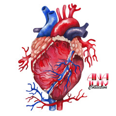Watercolor anatomy collection - heart