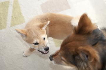 犬同士の遊び喧嘩