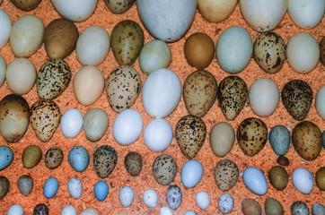 Sammlung verschiedener Vogeleier