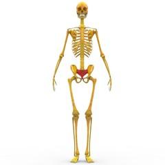 Human Skeleton Sacrum