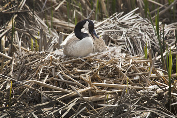 Canada goose sitting on a nest at Great Meadows, Massachusetts.