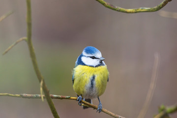 Recess Fitting Bird Blue tit sitting on a branch and looking