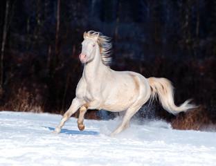 cremello welsh pony runs free in winter