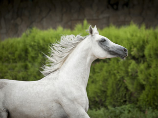 white arab horse portrait in motion