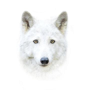 white polar wolf face isolated on white