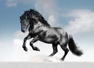black lusitano horse in winter field