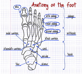 drawing of the human foot bones