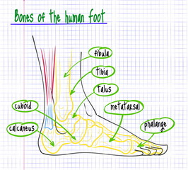 drawing of the anatomy of the human foot
