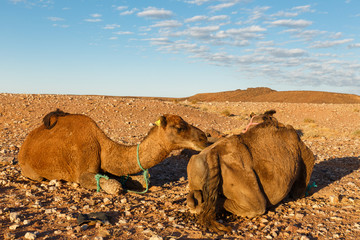 two camels in desert