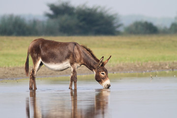 Young fertile donkey drinking water