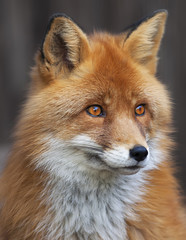 Portrait of a red fox male, vulpes vulpes. The head a beautiful forest wild beast. Smart look of a dodgy vulpes, skilled raptor and elegant animal. Cute and cuddly creature.