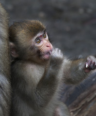 A young Japanese macaque savours some sweetmeat, nestled up his mother. Careless childhood of the cute little monkey with human like expressive face.