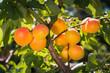 Ripe apricots on a tree