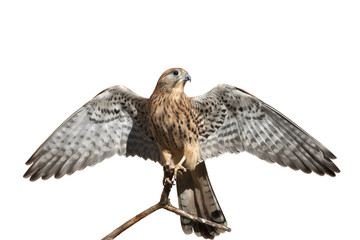 The full length portrait of a kestrel, Falco tinnunculus. Front view of a beautiful bird with stretched wings, isolated on white background. Wild beauty of the feathered world.