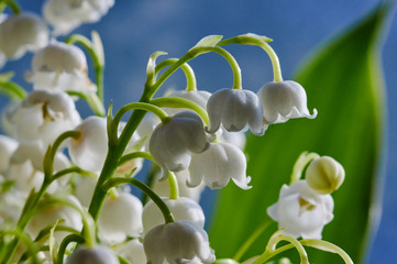 Detail of a white flower lily of the valley.