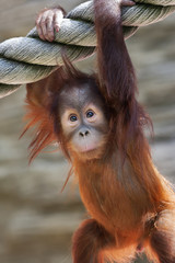 Stare of an orangutan baby, hanging on thick rope. A little great ape is going to be an alpha male. Human like monkey cub in shaggy red fur.