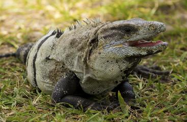 Iguana sitting on grass