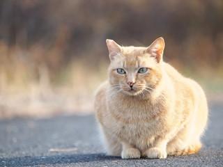 路上の茶トラ猫