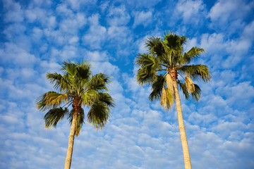 Two palm trees before blue sky with few clouds / Two palms with great green leaves standing alone infront of nice blue sky