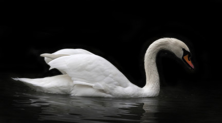 Side face portrait of a whooping swan, isolated on black background. White swan, side view, with orange beak and twisted neck in twilight. Wild beauty of a excellent web foot bird.
