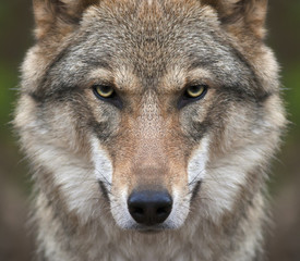 Fotobehang Wolf A look straight into your soul of a severe wolf female. Menacing expression of the young, two year old, european wolf, very beautiful animal and extreamly dangerous beast.